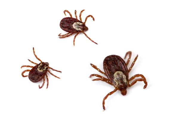 Understanding Ticks on Dogs and Cats petMD