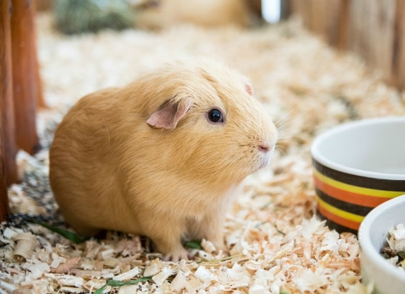 Have You Ever Seen Your Pet Chinchilla or Guinea Pig Popcorning? petMD