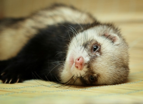 Vomiting In Ferrets Petmd