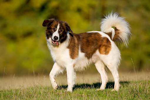 Image For Terrier Border Collie Mix