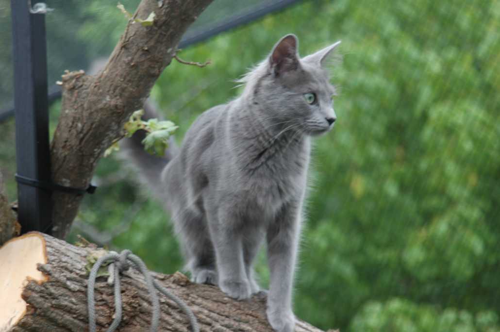 Cute White Kittens With Blue Eyes Wallpaper Nebelung Information Health Pictures Amp Training Pet Paw