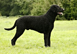 Small Of Dogs With Curly Tails