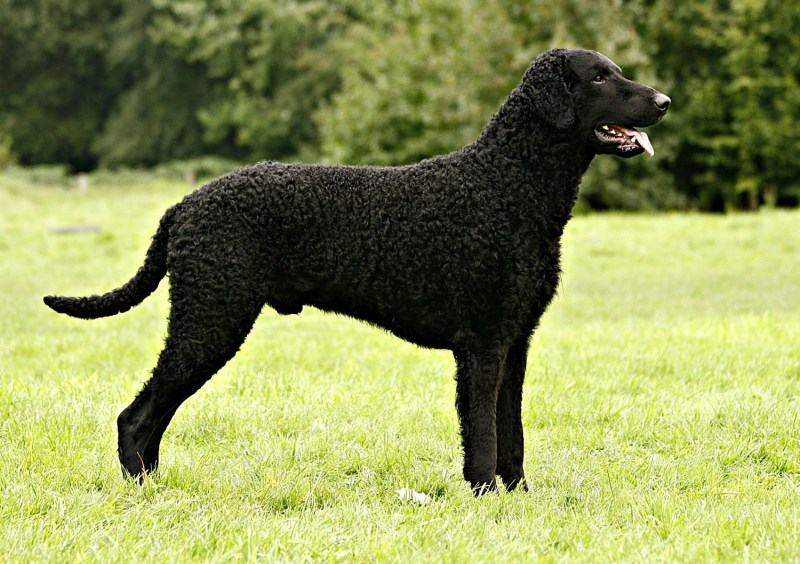 Large Of Dogs With Curly Tails