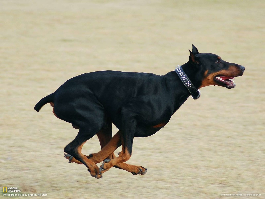 Pitbull Wallpapers 3d Doberman Pinscher Breed Guide Learn About The Doberman