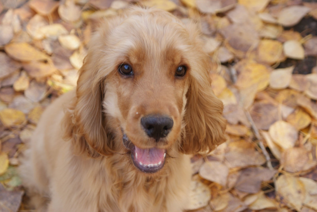 Puppies And Fall Wallpaper English Cocker Spaniel Breed Guide Learn About The