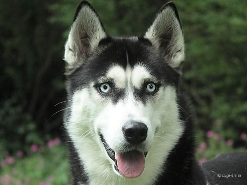 Medium Of Siberian Husky Life Span