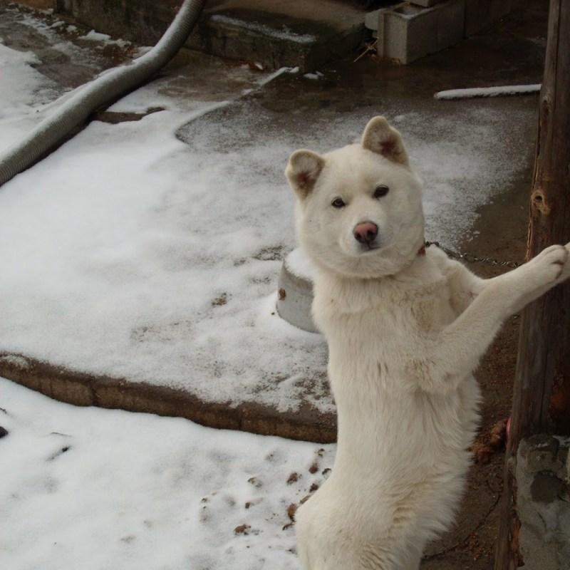 Large Of Korean Dog Breeds