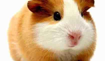 petrede-porquinho-da-india-guinea-pig