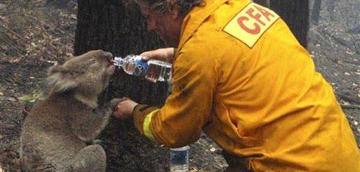 bombeiro-e-coala