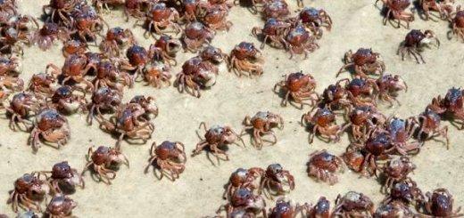 caranguejos-petrede