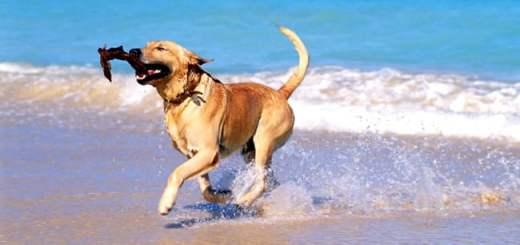 praia-cachorro-labrador-verao-calor-agua-mar-ferias-petrede