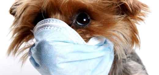 cachorro-mascara-yorkshire-petrede