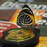 As borboletas estavam escondidas em um dicionário / Foto: Antonio Lima