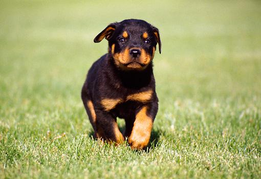 Cute Rottweiler Puppy Wallpaper Rottweiler Puppies Cute Pictures Pets World