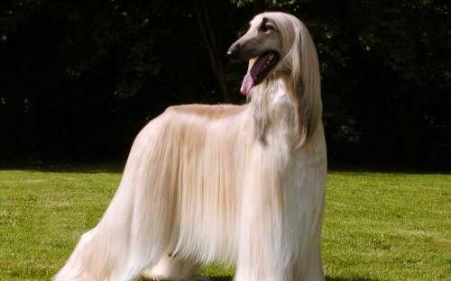 Medium Of Indian Dog Breeds