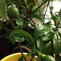 Update: project lemon tree - new bloom