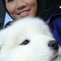 Introducing Ellie our new Samoyed Puppy!