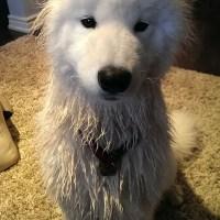 A wet samoyed