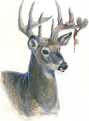 White-tailed Deer Wildlife Note