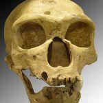 290px-Homo_sapiens_neanderthalensis
