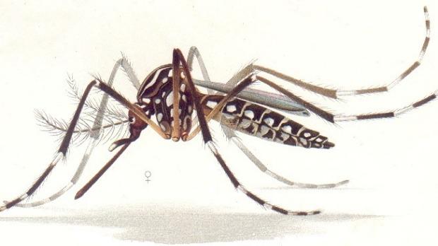 Zika-virus mosquito