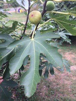 Small Of Chicago Hardy Fig