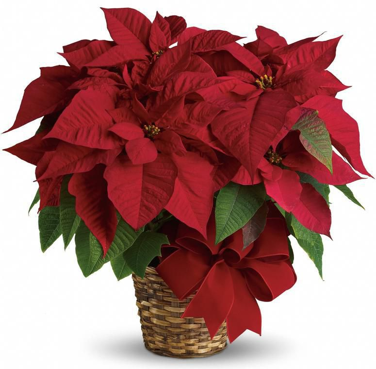 Tips For The Care Of Holiday Poinsettia Plants From Phoenix Flower