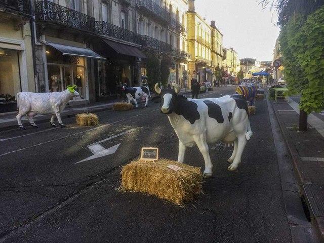 photo semaine 41: vaches sur le boulevard©photo Patrick Clermont