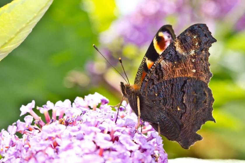 peacock-butterfly- macro