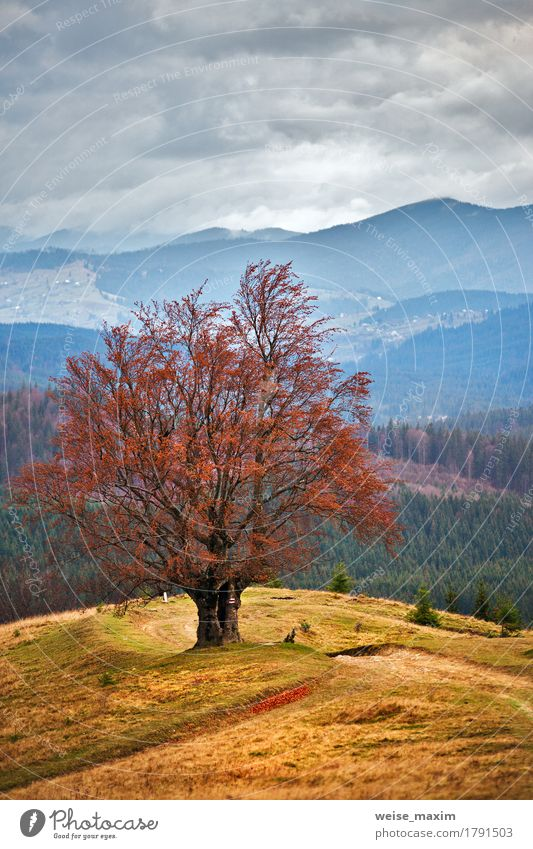 Foggy Fall Wallpaper Lone Tree In Autumn Mountains A Royalty Free Stock Photo
