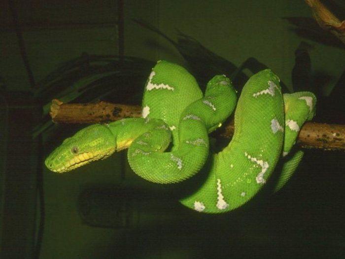 Animated Snake Wallpaper Boa 233 Meraude 9