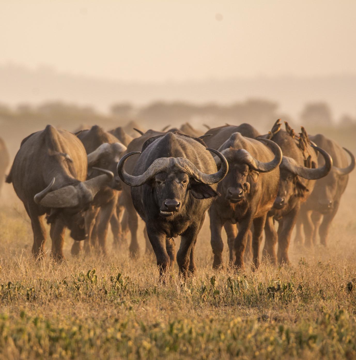 Bufali: Big Five dell'Africa