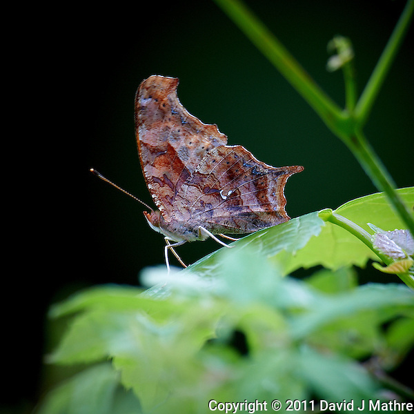 Moth or Butterfly? Early Summer in New Jersey. Image taken with a Nikon D3s and 600 mm f/4 lens (ISO 200, 600 mm, f/5.6, 1/60 sec). Raw image processed with Capture One Pro, Focus Magic, and Photoshop CS5. (David J Mathre)