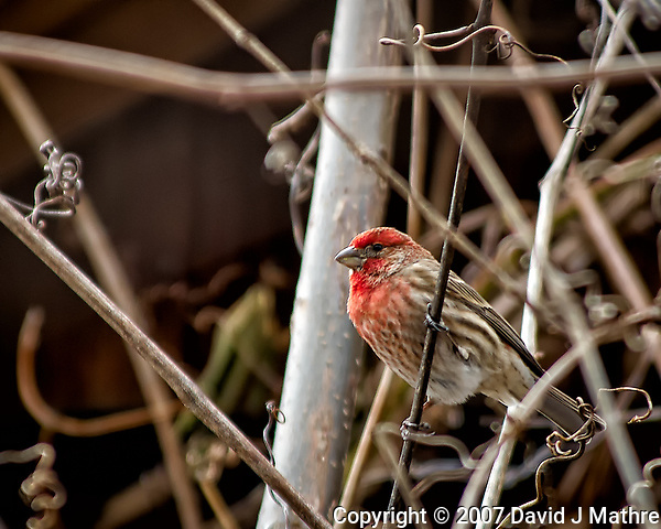 Male house finch on a vine. Backyard winter nature in New Jersey. Image taken with a Nikon D2xs camera and 80-400 mm VR lens (ISO 100, 400 mm, f/5.6, 1/125 sec). (David J Mathre)