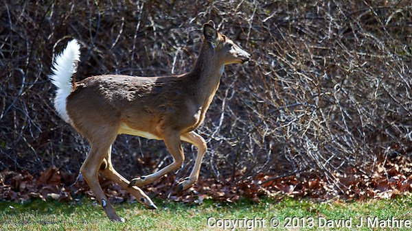 Deer in My Backyard, Early Spring in New Jersey. Image taken with a Nikon D4, and 600 mm VR lens (ISO 560, 600 mm, f/4, 1/2000 sec) (David J Mathre)