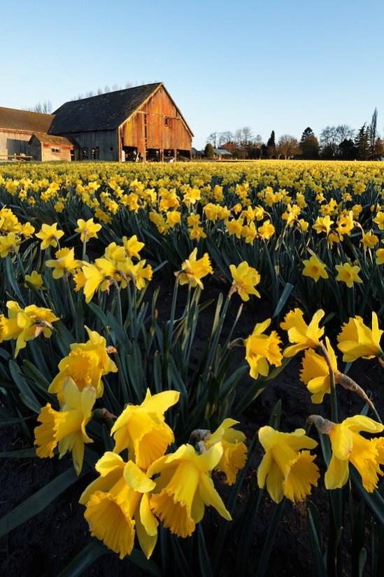 Daffodils blooming on a Skagit Valley farm, Skagit County, Washington