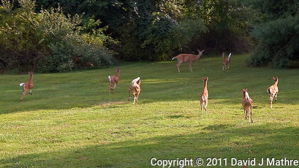 Seven Fawns Running and the Den Mother Doe in My Backyard. Summer Nature in New Jersey. Image taken with a Nikon D700 and 28-300 mm VR lens (ISO 220, 72 mm, f/5.6, 1/125 sec). (David J Mathre)