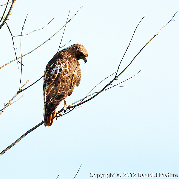 Red Tailed Hawk Looking for Dinner in My Backyard. Image taken with a Nikon D3x and 500 mm f/4 VR lens (ISO 100, 500 mm, f/4, 1/500 sec). (David J Mathre)