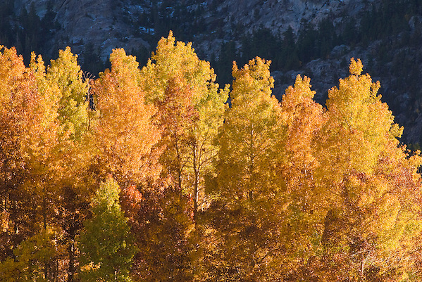 Golden fall aspens along Rush Creek, Inyo National Forest, Sierra Nevada Mountains, California (Russ Bishop/Russ Bishop Photography)