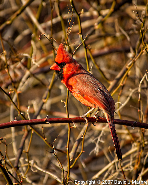 Northern Northern Red Cardinal in the afternoon sun. Backyard winter nature in New Jersey. Image taken with a Nikon D2xs camera and 80-400 mm VR lens (ISO 200, 400 mm, f/5.6, 1/320 sec). (David J Mathre)