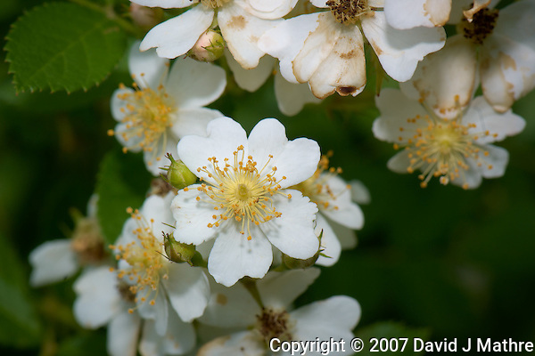 Wild Raspberry Flowers. Spring Nature in New Jersey. Image taken with a Nikon D2xs and 105 mm f/2.8 VR Macro Lens (ISO 100, 105 mm, f/11, 1/125 sec). Raw image processed with Capture One Pro 6, Focus Magic, Nik Color Efex Pro 3 (Tonal Contrast), Nik Define 2, and Photoshop CS5. . (David J Mathre)