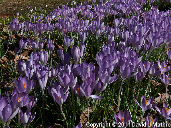 Field of Purple Crocuses  -- Spring is Coming. Image taken with a Leica D-Lux 5 (ISO 100, 14.9 mm, f/8, 1/320 sec). (David J Mathre)