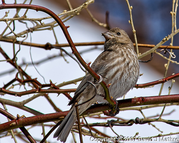 Crossed-bill/beak finch or female house finch (?) on a vine. Backyard winter nature in New Jersey. Image taken with a Nikon D2xs camera and 80-400 mm VR lens (ISO 100, 400 mm, f/10, 1/400 sec). (David J Mathre)
