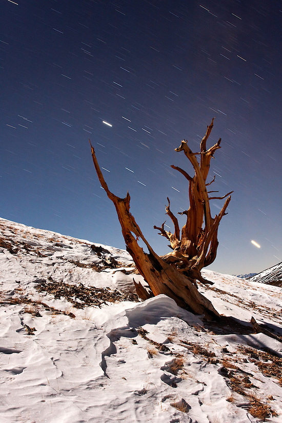 Bristlecone pine and snow illuminated by moon light with starry sky, Inyo National Forest, White Mountains, California, USA (Brad Mitchell)