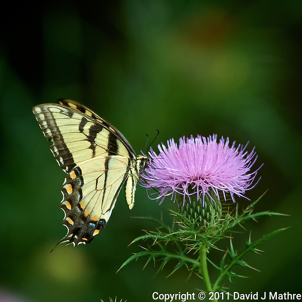 Yellow Swallowtail Butterfly on Thistle Bloom. Sourland Mountain Preserve, Summer Nature in New Jersey. Image taken with a Nikon D3s and 300 mm f/2.8 VR lens + TC-E III 20 teleconverter (ISO 1100, 600 mm, f/5.6, 1/500 sec). Raw image processed with Capture One Pro 6, Nik Define, and Photoshop CS5. (David J Mathre)