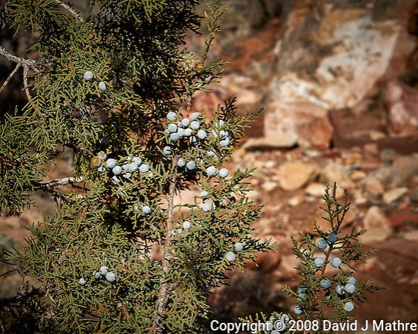 Juniper berries at Kelley's Place near Cortez, Colorado. Image taken with a Nikon D3 camera and 70-200 mm f/2.8 VR lens (ISO 200, 70 mm, f/11, 1/800 sec). (David J Mathre)