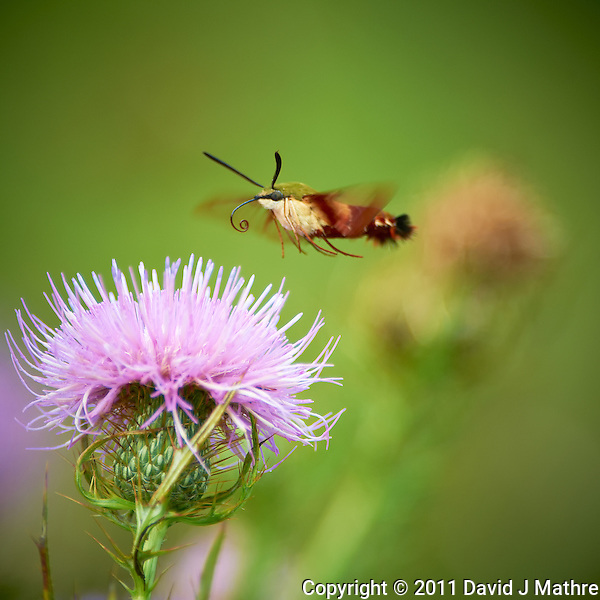Clearwing Hummingbird Moth on Thistle Bloom. Sourland Mountain Preserve, Summer Nature in New Jersey. Image taken with a Nikon D3s and 300 mm f/2.8 VR lens + TC-E III 20 teleconverter (ISO 280, 600 mm, f/8, 1/500 sec). Raw image processed with Capture One Pro 6, Nik Define, and Photoshop CS5. (David J Mathre)