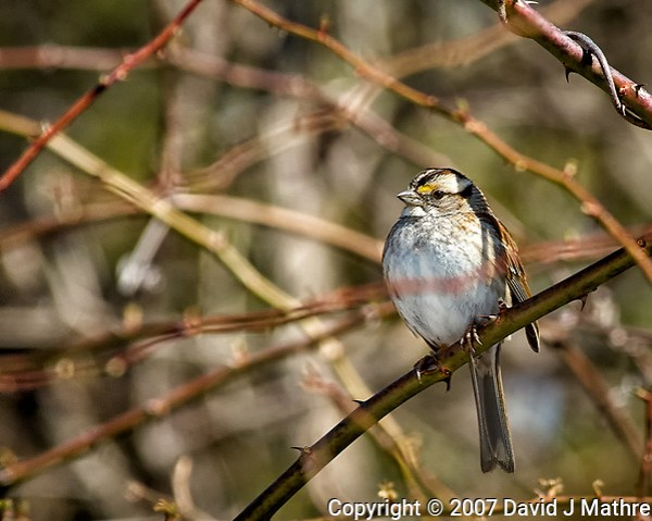 White-throated sparrow getting some sun. Late winter backyard wildlife in New Jersey. Image taken with a Nikon D2xs camera and 80-400 mm VR lens (ISO 400, 400 mm, f/8, 1/500 sec). (David J Mathre)
