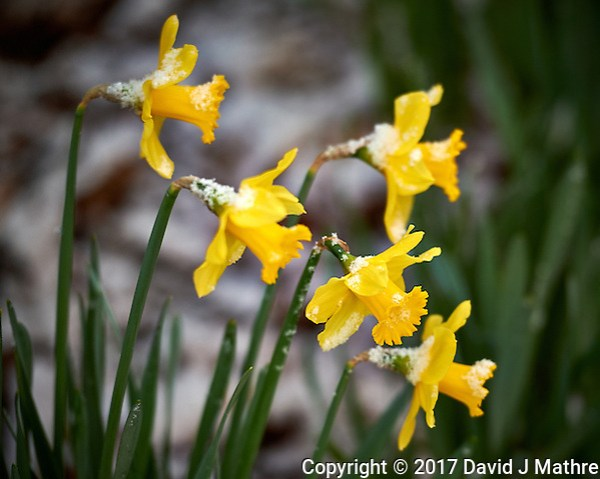 Daffodils after a quick snowfall. Winter nature in New Jersey. Image taken with a Nikon Df camera and 70-200 mm f/2.8 lens (ISO 400, 200 mm, f/2.8, 1/200 sec). (David J Mathre)