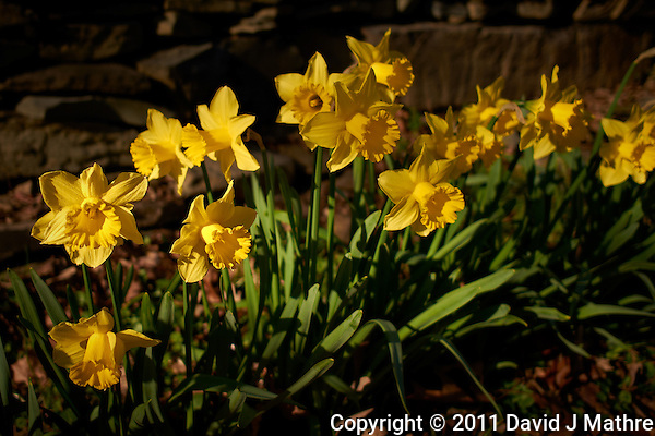Daffodils in Bloom -- Two Days from Spring. Image taken with a Leica X1 (ISO 100, 24 mm, f/3.2, 1/1000 sec). (David J Mathre)